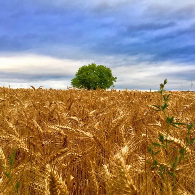 Sky Growth Agriculture Field Tranquility Tranquil Scene Landscape Cloud - Sky Crop  Nature Rural Scene Beauty In Nature Day Scenics Plant Cereal Plant No People Outdoors Tree Wheat