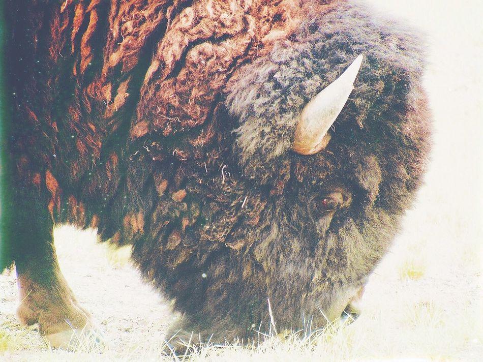 Animals In The Wild Nature Outdoors Buffalo Montana Yellowstone Yellowstone National Park Bison Animal First Eyeem Photo