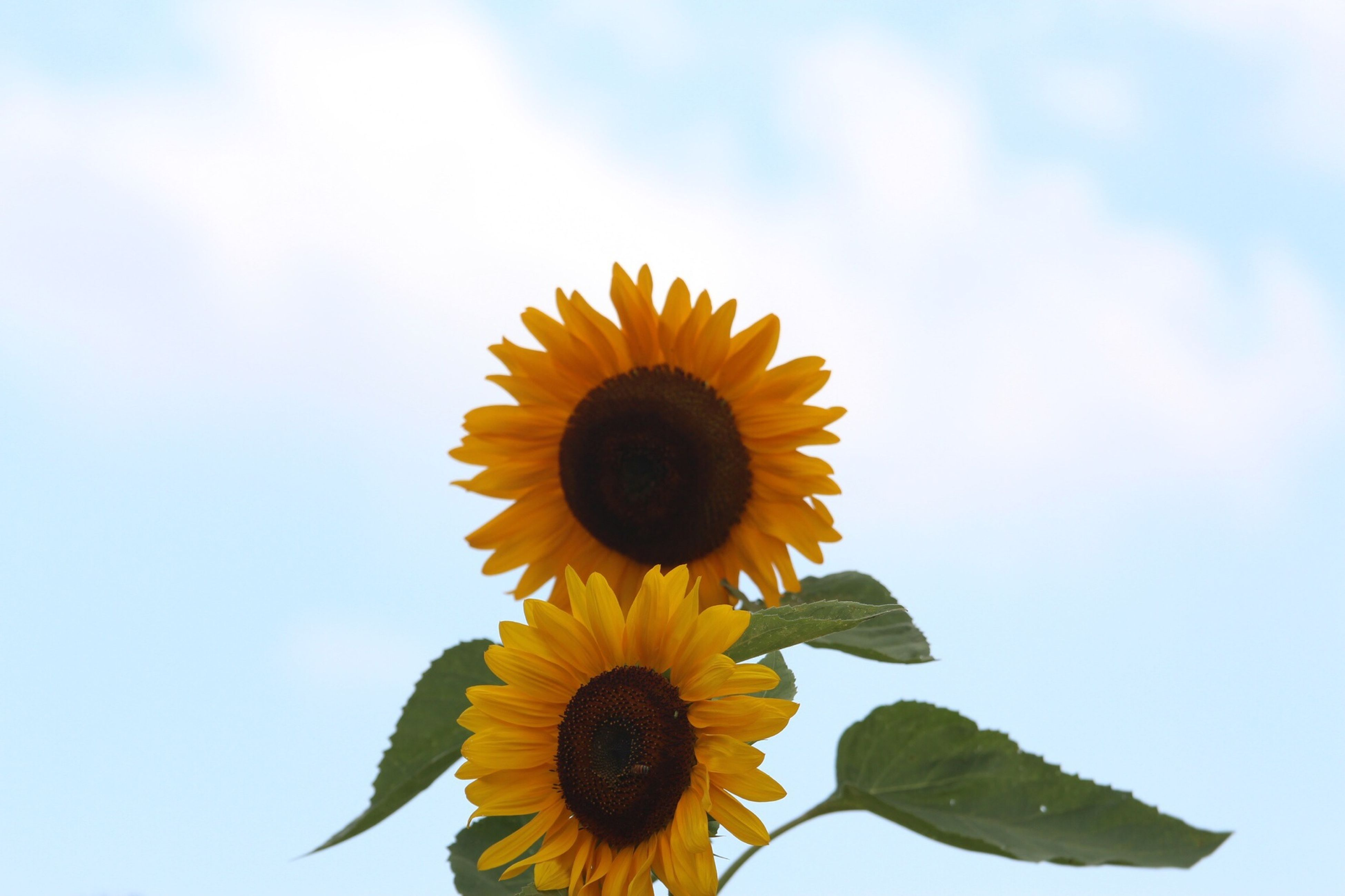 flower, yellow, freshness, sunflower, petal, flower head, fragility, growth, beauty in nature, sky, pollen, blooming, low angle view, nature, single flower, plant, close-up, in bloom, leaf, blossom