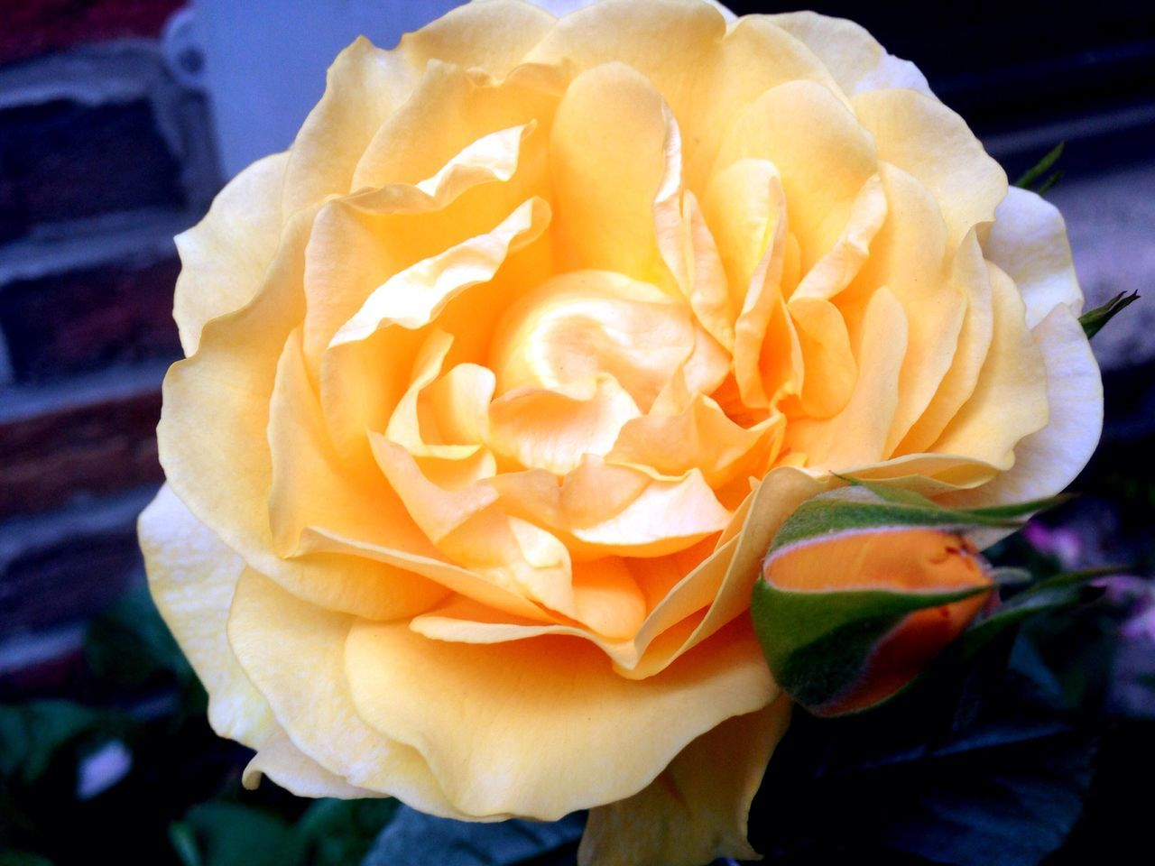 flower, petal, freshness, beauty in nature, rose - flower, fragility, flower head, nature, close-up, no people, blooming, outdoors, growth, plant, day