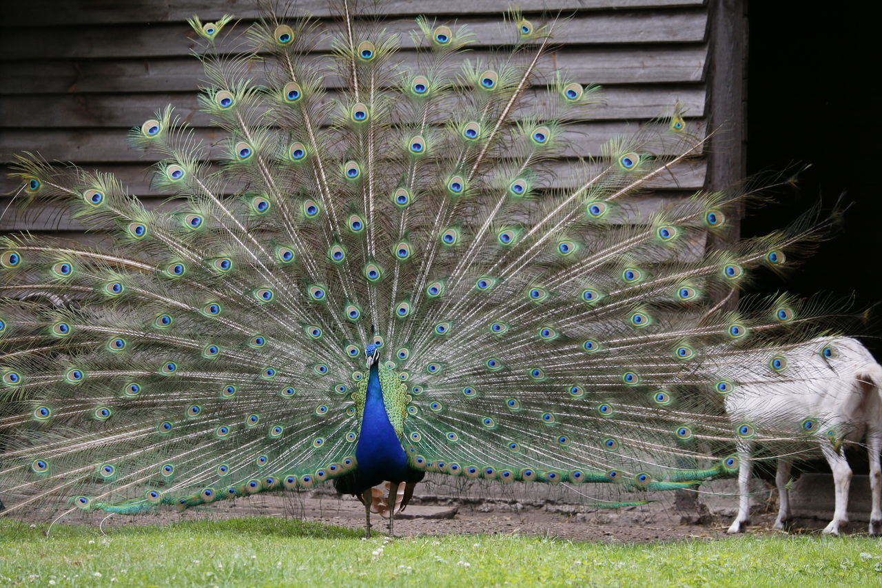 Beautiful stock photos of peacock,  Animal Behavior,  Animal Markings,  Animal Themes,  Animal Wildlife