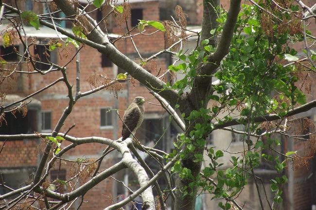 Gavião Caco de Telha Capture The Moment The Purist (no Edit, No Filter) Nature_collection Nature Naturephotography Gaviao Rapina Falcon Falcons Falcon Brasil