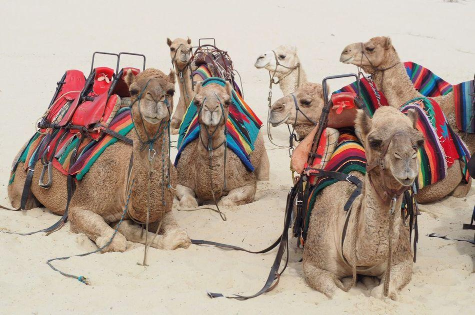 Camel Sand Working Animal Animal Themes Domestic Animals Mammal Saddle Desert Day Outdoors No People Dunes Sand Dunes Anna Bay Australia Travel
