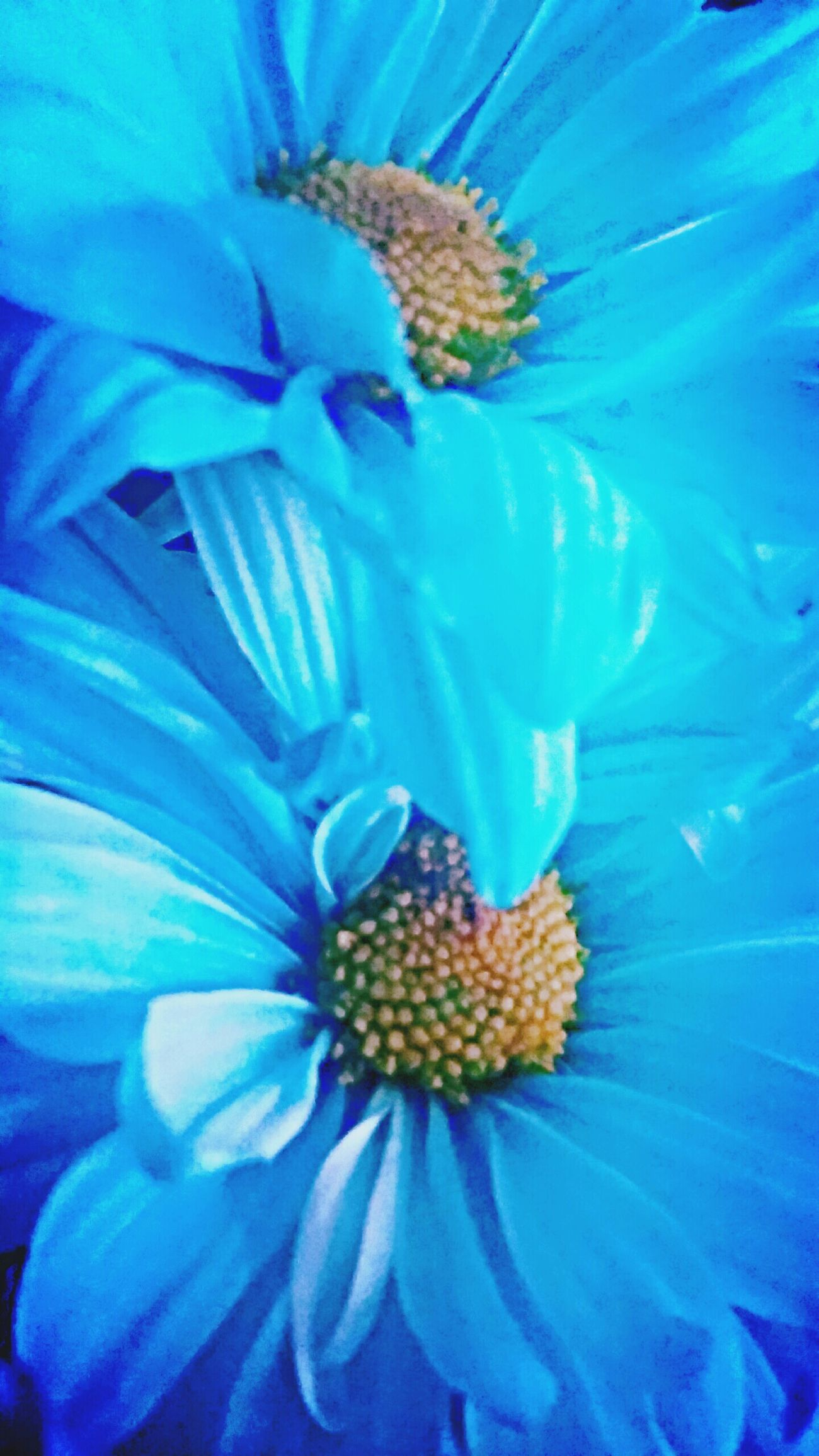 Dasiey Blue