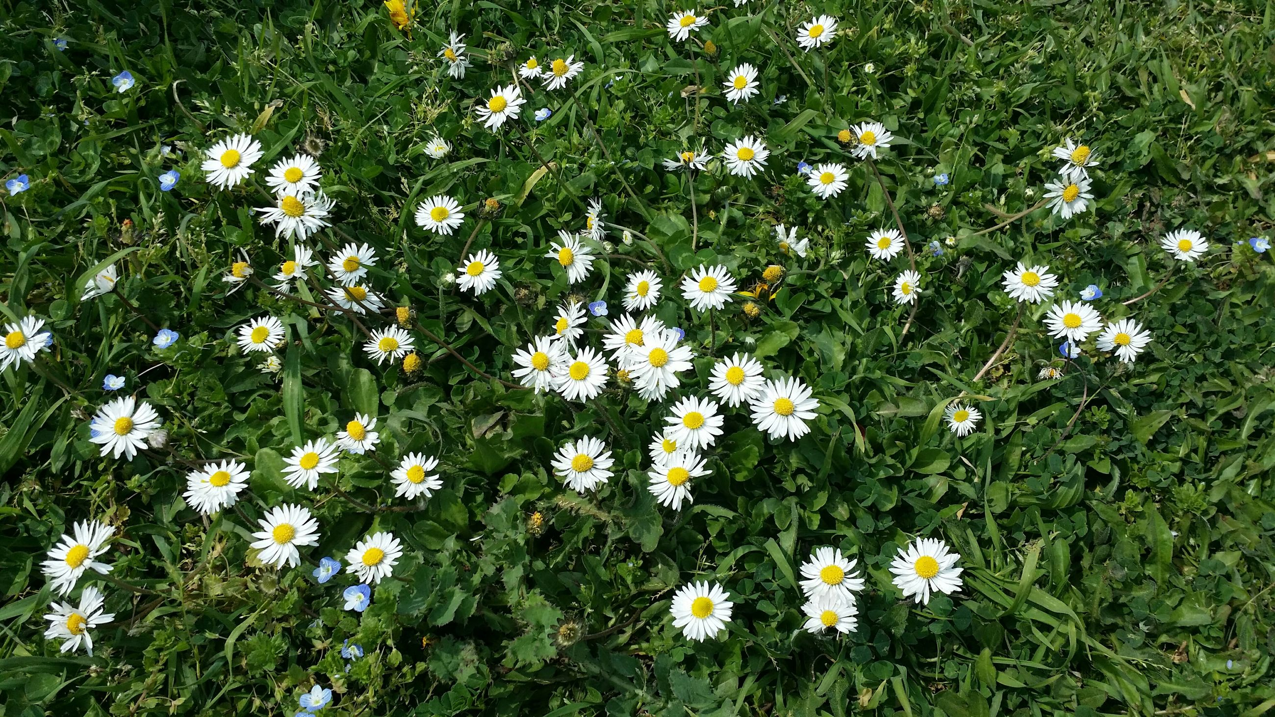 flower, freshness, growth, fragility, daisy, beauty in nature, white color, petal, field, nature, plant, blooming, grass, high angle view, flower head, wildflower, green color, meadow, in bloom, yellow