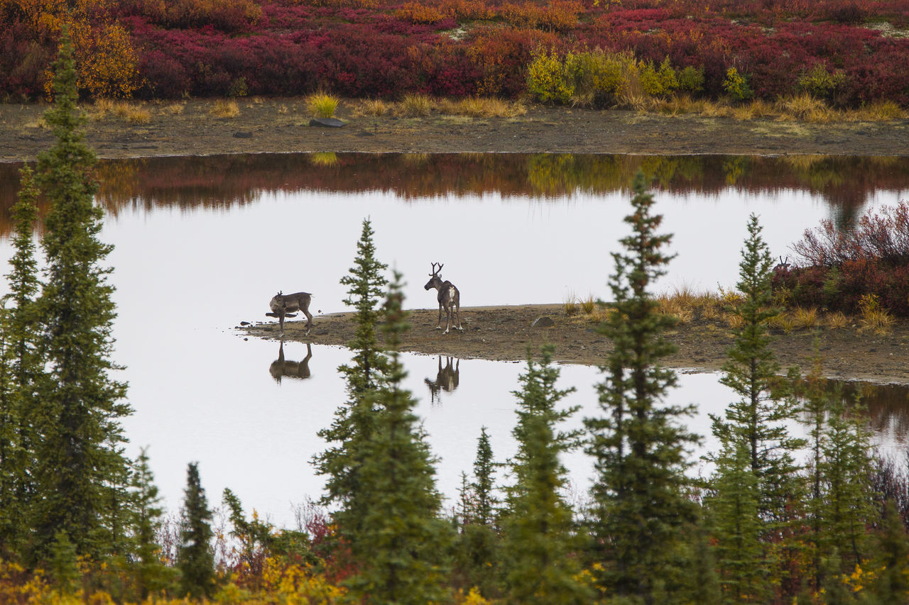 Caribous posing Beauty In Nature Caribou Day Lake Landscape Nature Outdoors Reflection Scenics Togetherness Tranquility Tree Water