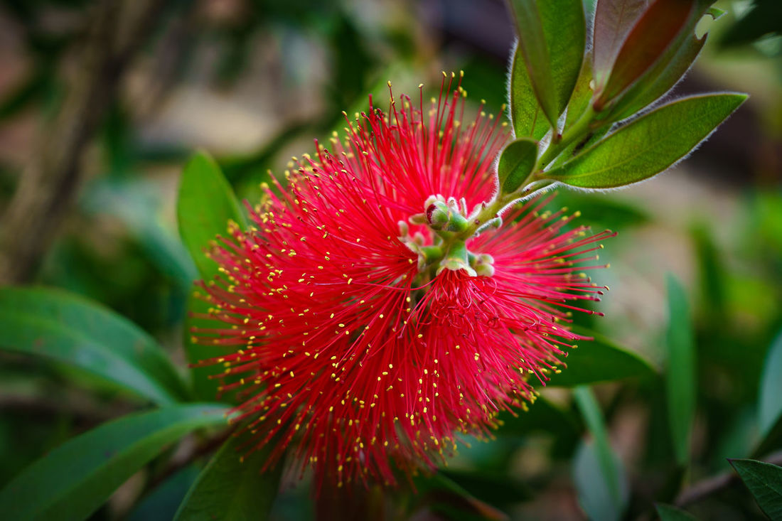 Beauty In Nature Blossom Botany Close-up Exotic Exotic Flowers Flower Flower Head Focus On Foreground Freshness In Bloom Leaf Leaves Red Red Flower Red Flowers Ohia Single flower Springtime Vibrant Color Ohia Lehua Metrosideros Polymorpha Myrtaceae Ohia Blossom Ohia Trees