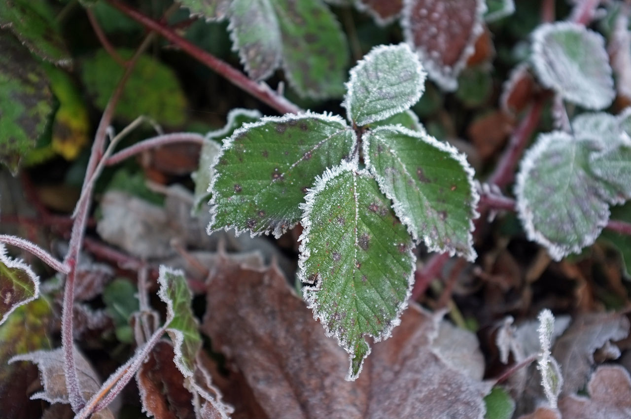 Autumn Beauty In Nature Close-up Cold Temperature Fallen Focus On Foreground Fragility Frozen Grass Growth Hoarfrost Ice Leaf Nature Original Photography Plant White Frost Winter FujiFilm X100 Fuji X100