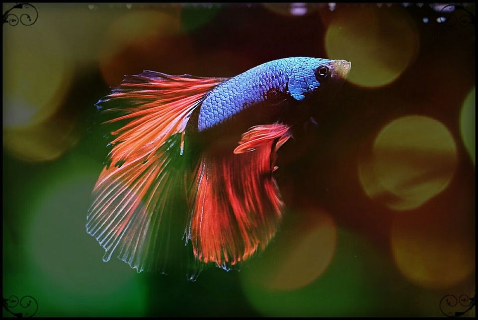 Close-up Multi Colored Underwater Aquarium Aquarium Photography Colourful Pets Color Explosion Bettasiamesefish Bettasofinstagram Bettafish Bettacommunity Bettasplendens Betta Lovers