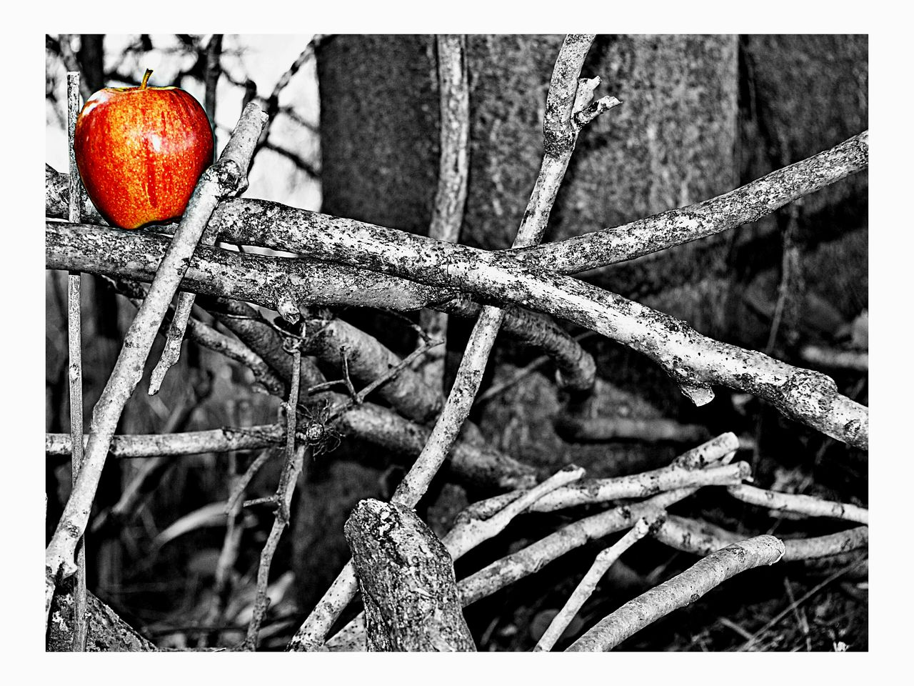 An Apple a Day Photo Collection - Find Me, Pick Me, Eat Me Enchantment Enticement Beauty In Simplicity Tangled Fruit Apple Twigs Tangled In Wall Art