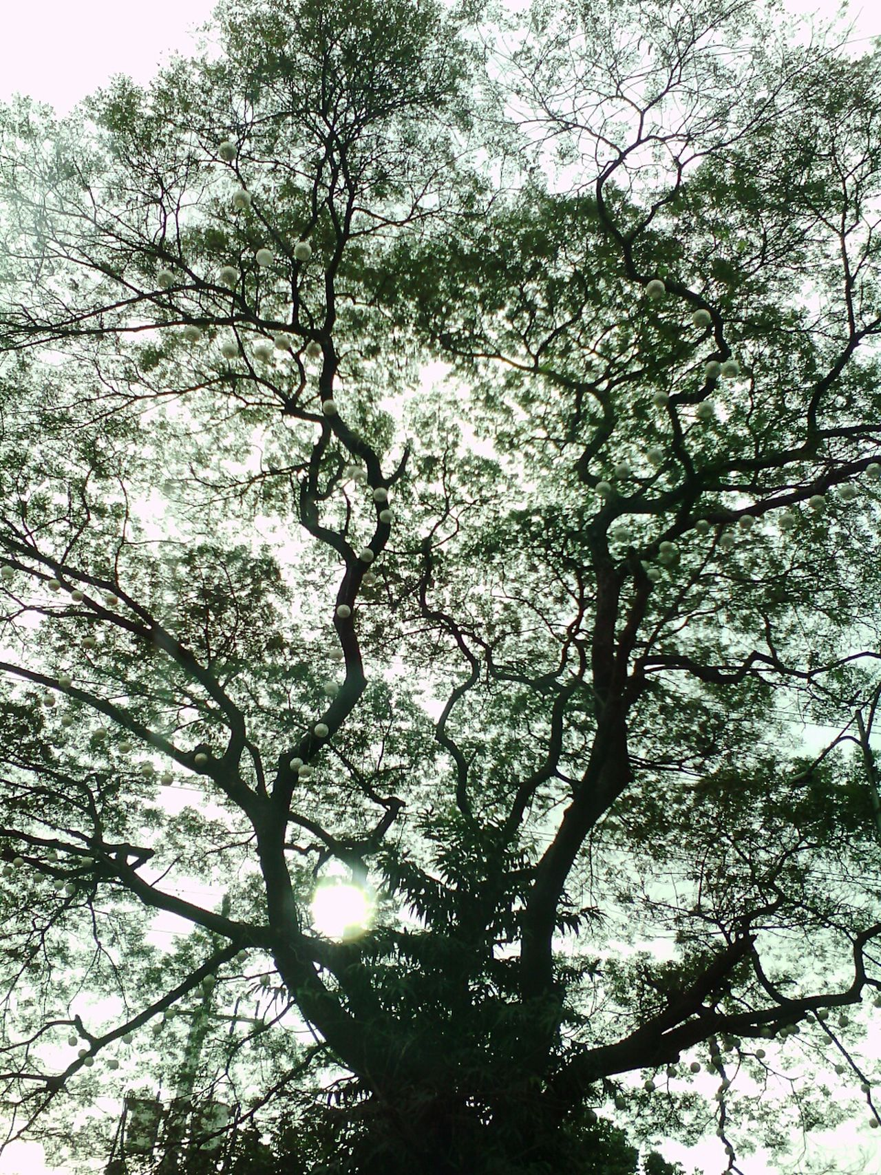 Tree Nature Growth No People Beauty In Nature Sky Backgrounds Outdoors Branch Outdoor Beauty Treetop Outdoors, Outside, Open-air, Air, Fresh, Fresh Air, Outdoors Photograpghy  Philippines ❤️ Tranquility Beauty In Nature Nature Tree Tree Art Growth Tree Silhouette