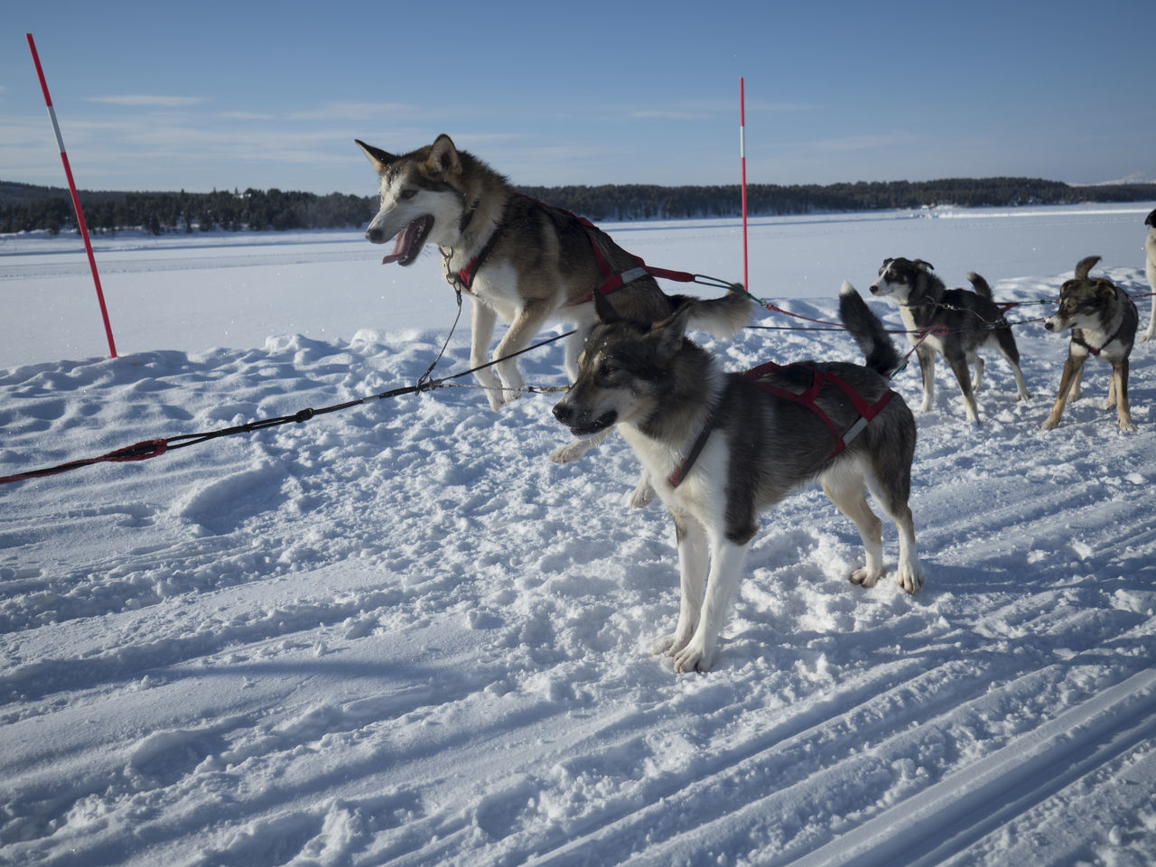 Animal Themes Cold Temperature Day Dog Kiruna Landscape No People Outdoors Pets Siberian Husky Sled Dog Snow Winter Working Animal