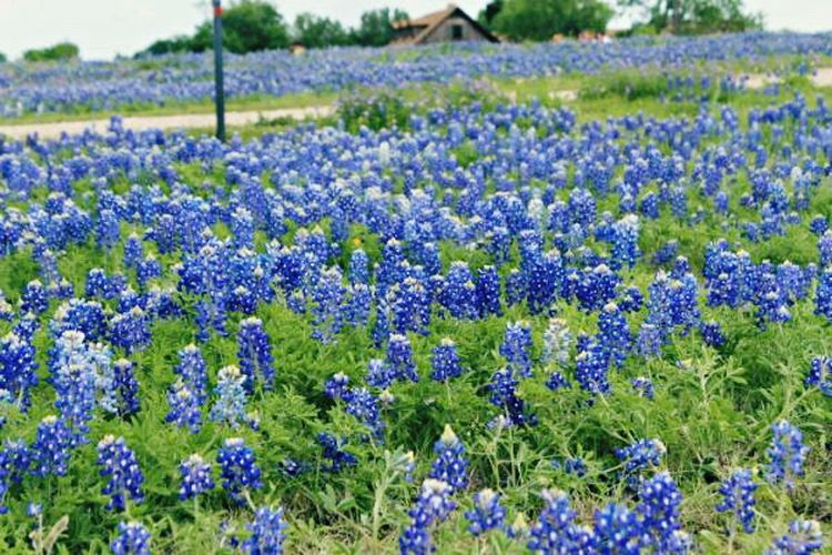 Nature On Your Doorstep Bluebonnet Festival Texas