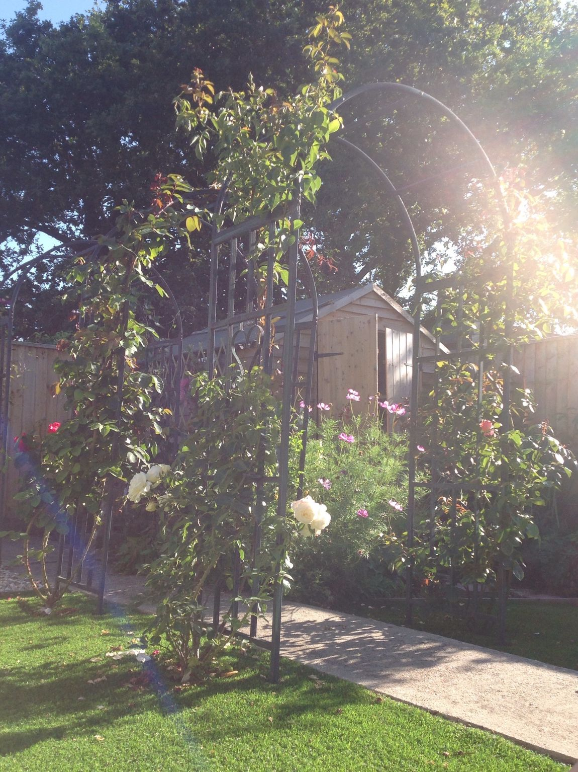 Roses🌹 Garden Photography Gardening Garden Love Beautiful Sun Rays