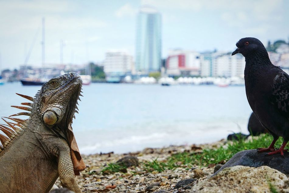 Iguana and the city Bird Focus On Foreground Sea One Animal Water Animal Themes Animal City Outdoors Animals In The Wild Beach People Day One Person Nature Sky Close-up Adults Only Adult EyeEm Best Shots Open Edit Fresh 3 Iguana Eye4photography  Animals In The Wild