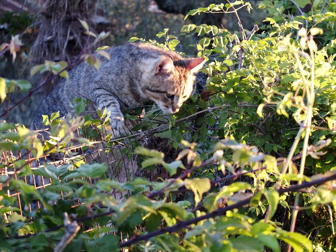 one animal, domestic cat, animal themes, feline, day, plant, outdoors, mammal, no people, growth, domestic animals, leaf, alertness, pets, nature, grass