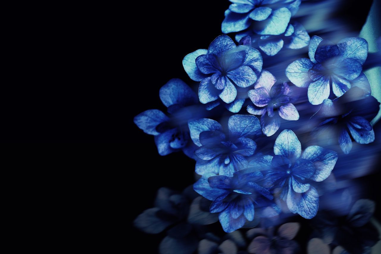 Flower Black Background Beauty In Nature Nature Blue Freshness Fragility Flower Head Petal Close-up Beauty Plant Growth No People Outdoors Day