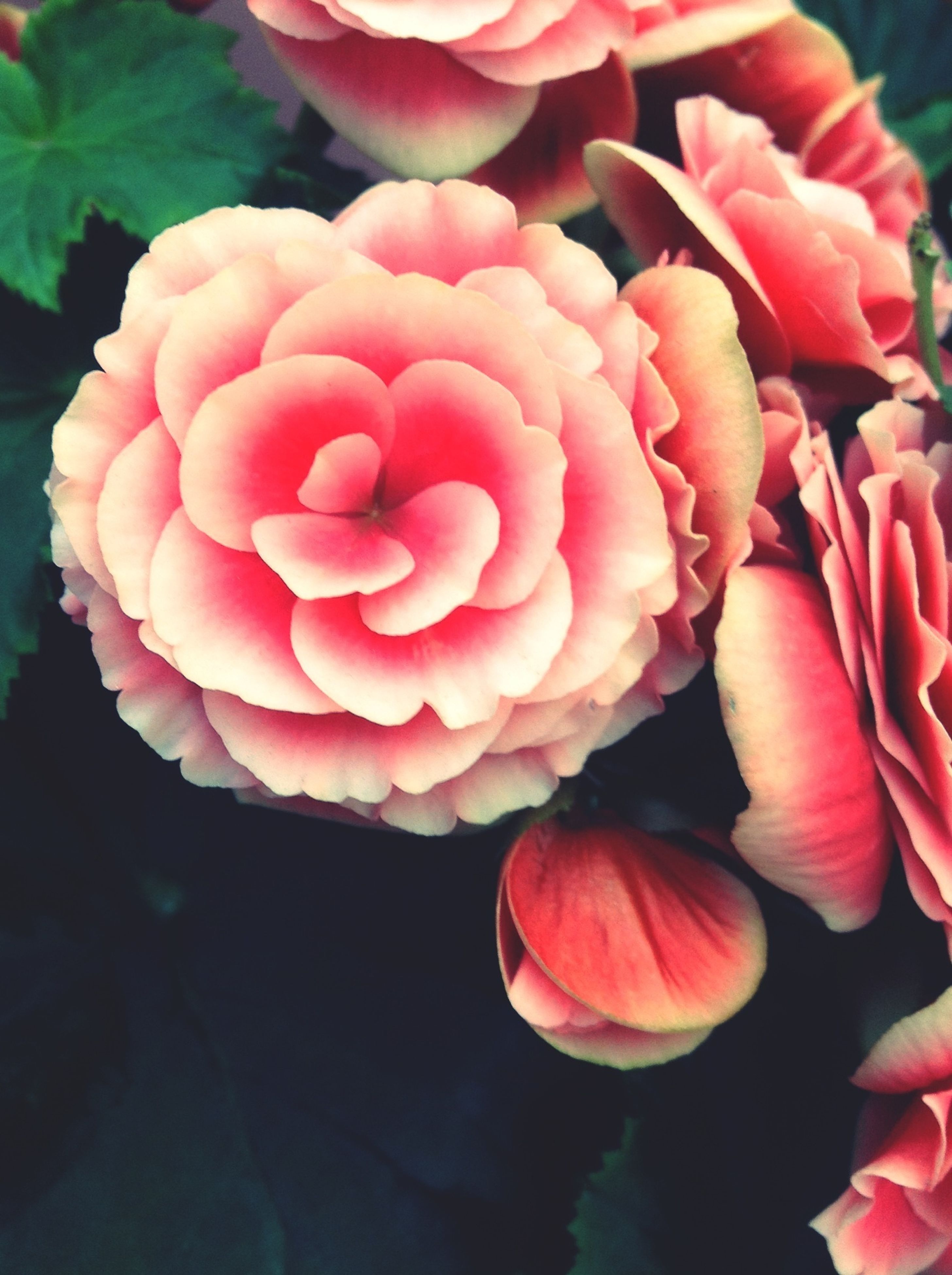 flower, petal, freshness, flower head, fragility, beauty in nature, growth, close-up, pink color, red, nature, rose - flower, blooming, plant, pink, rose, blossom, single flower, no people, focus on foreground
