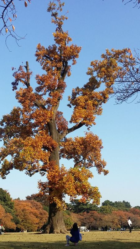 Shinjuku Gyoen National Garden Tokyostreetphotography Japanstreetphotography Streetphotograhy The Colours Of Autumn The Colours Of Nature Japanautumn2016 TokyoNov2016 Japannov2016 Japan Tree
