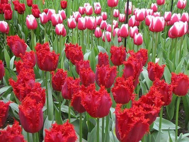 Tulpes Tulip Tulipfields Tulpjulauki Netherlands Niderlande 8marts Fotofanatics_flowers_ Loves_life Best_free_shot Bestnine Pavasaris Spring Versatile_photo_ Loves_flowers_ Nature_wizards Naturephotography Natur_photograph Your Amsterdam