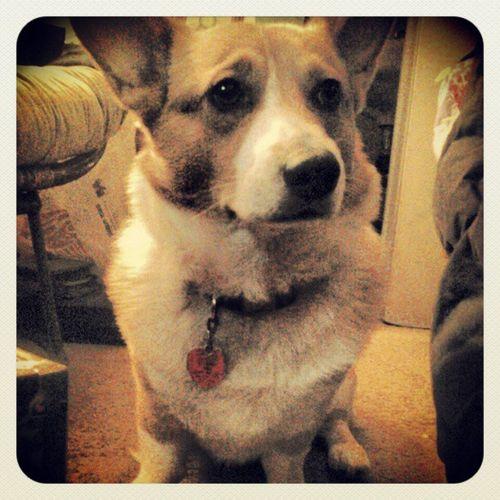 Corgi Corgistagram Corgination Petstagram Adorable Cute Pembrokecorgi Pembrokewelshcorgi Corgilove Ilovemydog