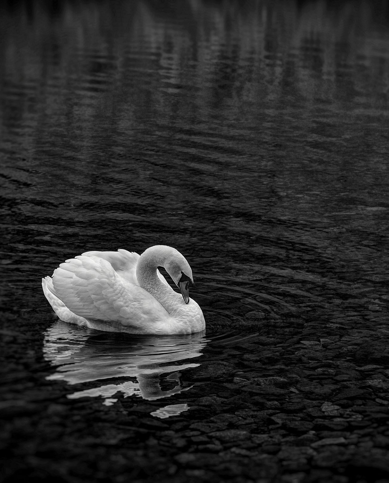 Simplicity EyeEmBestShots-Reflections EyeEm Best Shots - Nature Black And White Swan