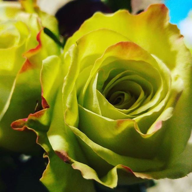 Here's a Manuelmode of a Rosé for my Wife Green with Red tips Lgfanview LGG4 Lazerfocus @lggulf @lgusamobile @lgus @lgmobileglobal @LGUSAMobile @sharealittlesunshine