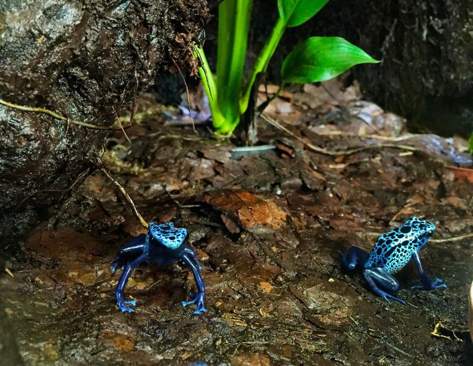 Beautiful stock photos of frosch, Animal Themes, Blue, Close-Up, Day