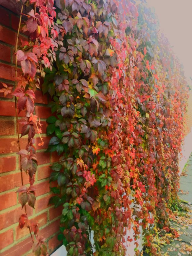 Colors and patterns Growth Flower Plant Freshness Leaf Beauty In Nature Wall - Building Feature Creeper Plant Nature Fragility Red Pink Color Day Blossom Springtime Flower Head Petal TakeoverContrast Fall Fall Beauty Autumn Autumn Colors Fall Colors London Lifestyle