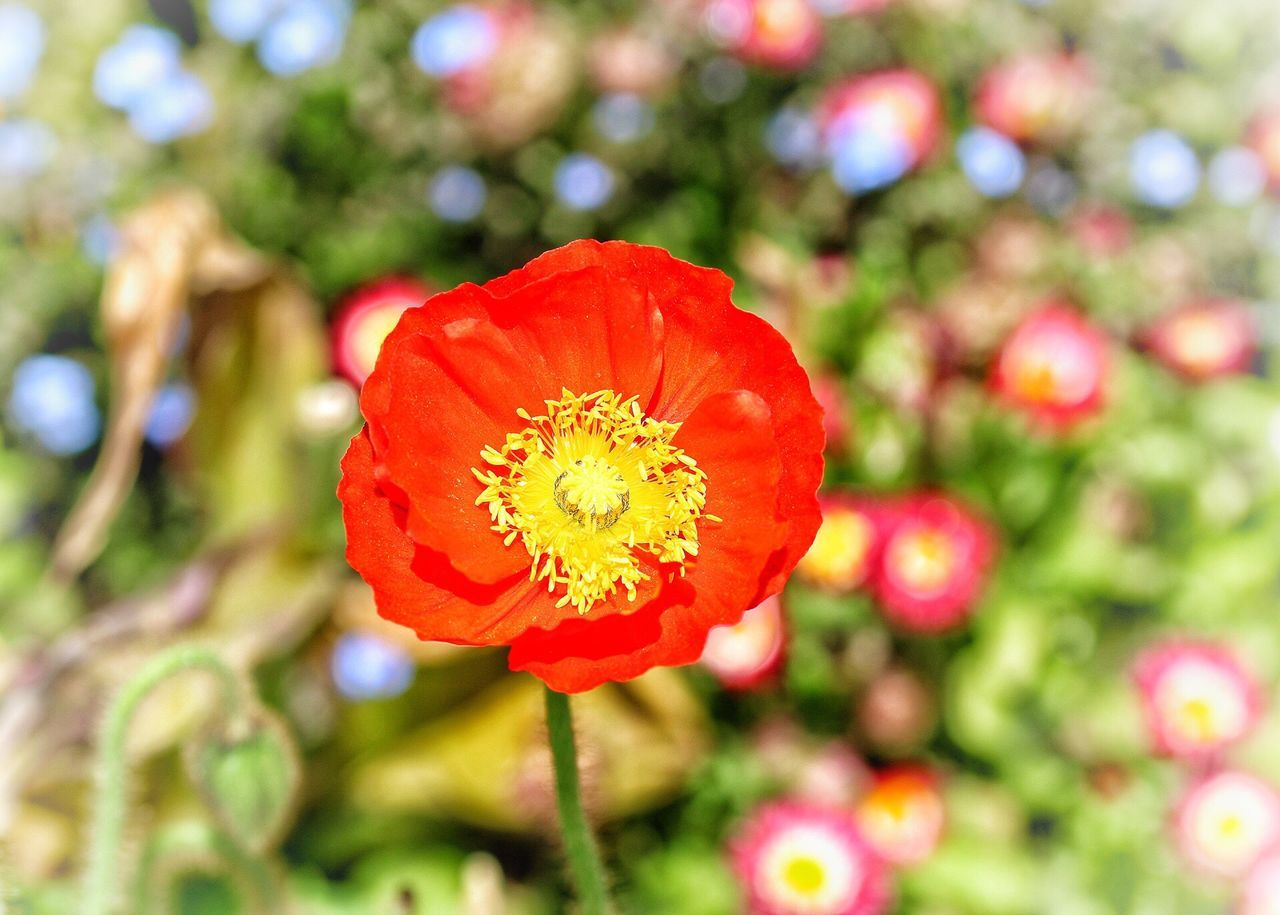 Flower Nature Beauty In Nature Petal Freshness Fragility Red Flower Head Growth Focus On Foreground Plant No People Outdoors Blooming Close-up Day Springtime Poppy Zinnia