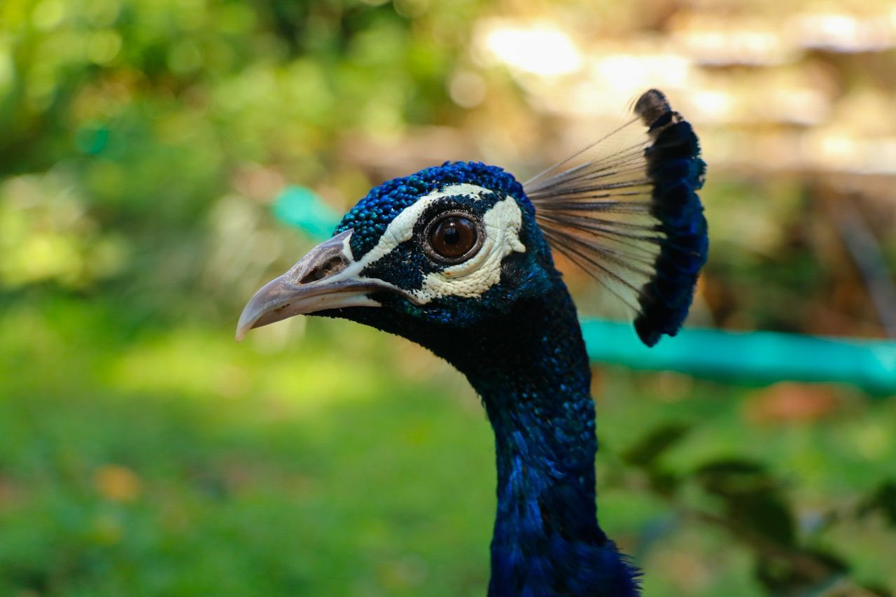 Weirdo. Bird One Animal Animal Themes Animal Wildlife Focus On Foreground Beak Animal Body Part Animals In The Wild Close-up Nature Animal Crest Peacock No People Outdoors Day Peacock Feathers Beauty In Nature Travel Vacations Side View Beautiful Ironeyephotography