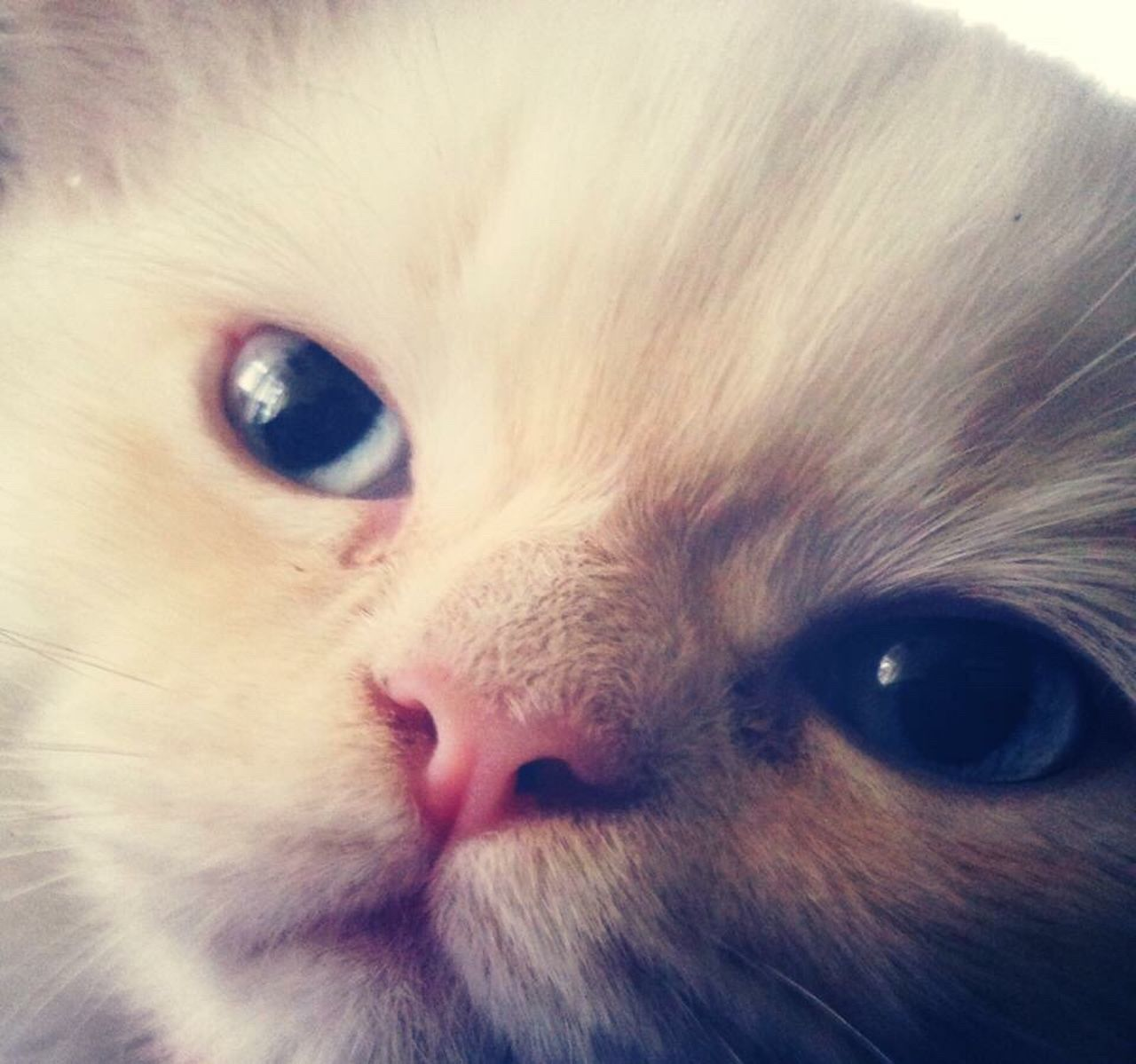 Domestic Animals Pets Domestic Cat Looking At Camera Close-up Mammal Animal Head  Portrait Animal Eye One Animal No People Animal Themes Feline Cat Cats Of EyeEm Catsagram Cat Lovers Cat♡ Persian Cat  Looking At Camera Rest In Peace ❤ Your First Day With Me Scenics Beauty In Nature Catlovers