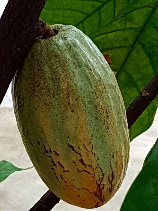 No People Close-up Beauty In Nature Cacau Cacao Fruit No Edit No Filter
