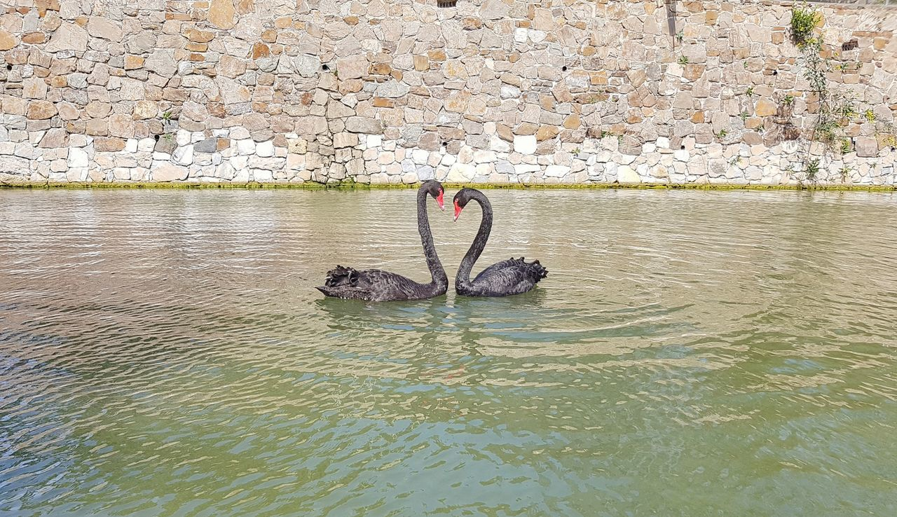 Amor naturaleza cortejo danza corazón cisnes negros primavera belleza Nature Love Love Is In The Air Love♥ Heart Dance Springtime Beauty In Nature Water Day Lake Outdoors No People Black Swans Courtship Dance Art Is Everywhere