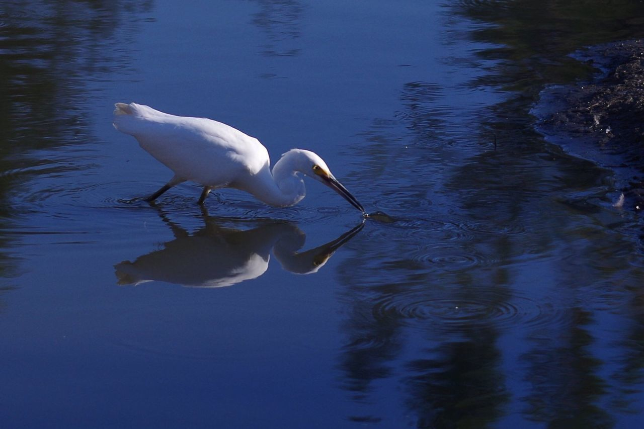 Lightning Fast Egret Bird Fish Fishing Light And Shadow Water Reflections Reflection Kit Carson Park Volna3 Nature On Your Doorstep Nature The Purist (no Edit, No Filter)