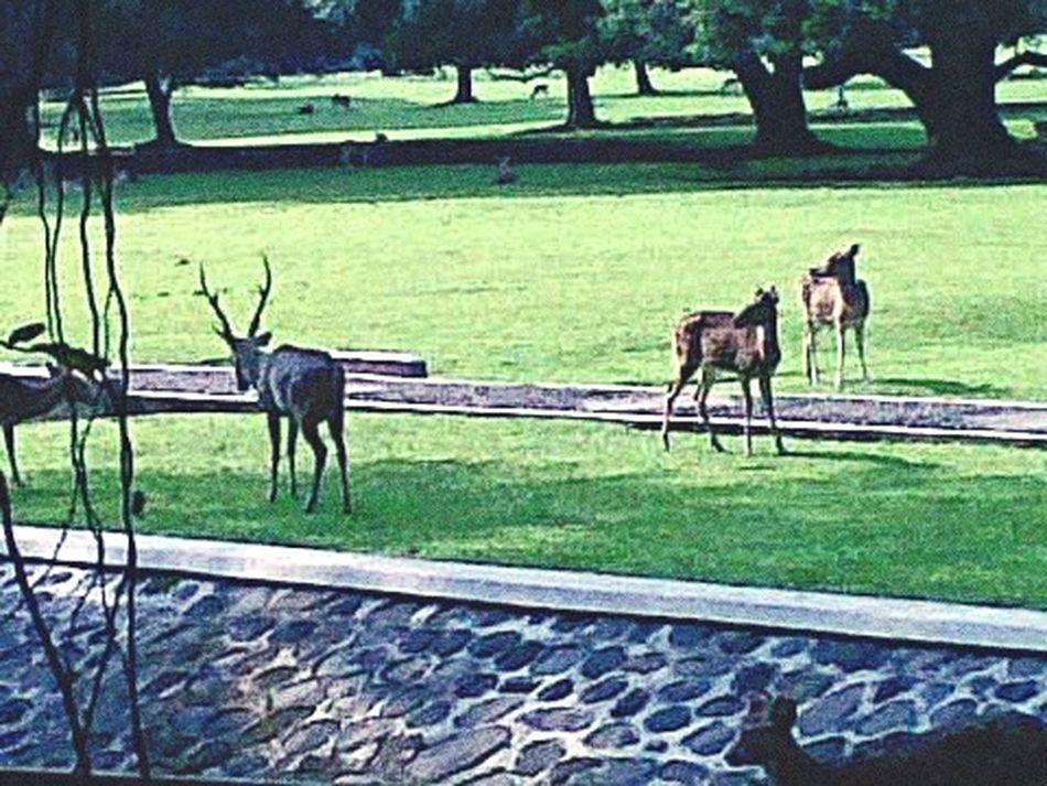 Deers having Breakfast in Bogor Presidential Palace Taking Photos Hanging Out Bogor, Indonesia