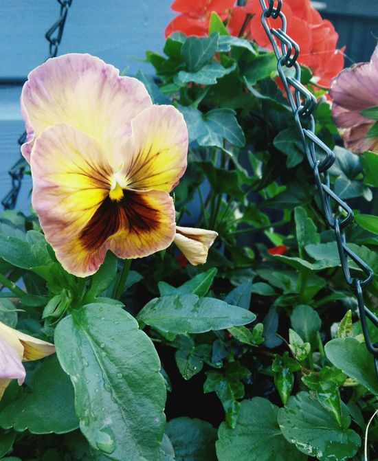 natures faces Vintage Pansy Red Geraniums Ivy Leaves Hanging Basket Nature Urban Garden Evening Pretty Beauty In Nature Lush Foliage