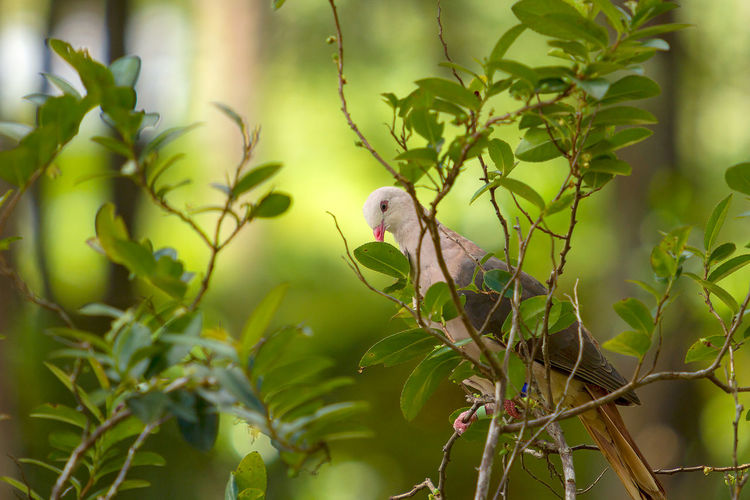Pink Pigeon Animal Themes Animal Wildlife Animals In The Wild Beauty In Nature Bird Branch Close-up Day Green Color Growth Leaf Mauritius Island  Nature No People One Animal Outdoors Perching Plant Tree