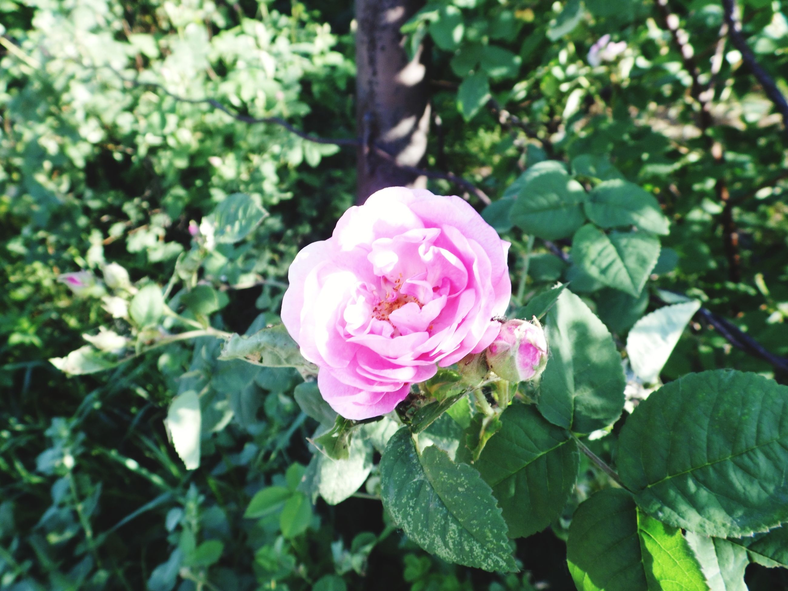 flower, freshness, petal, fragility, growth, flower head, rose - flower, pink color, beauty in nature, leaf, close-up, blooming, nature, focus on foreground, plant, single flower, green color, rose, in bloom, park - man made space