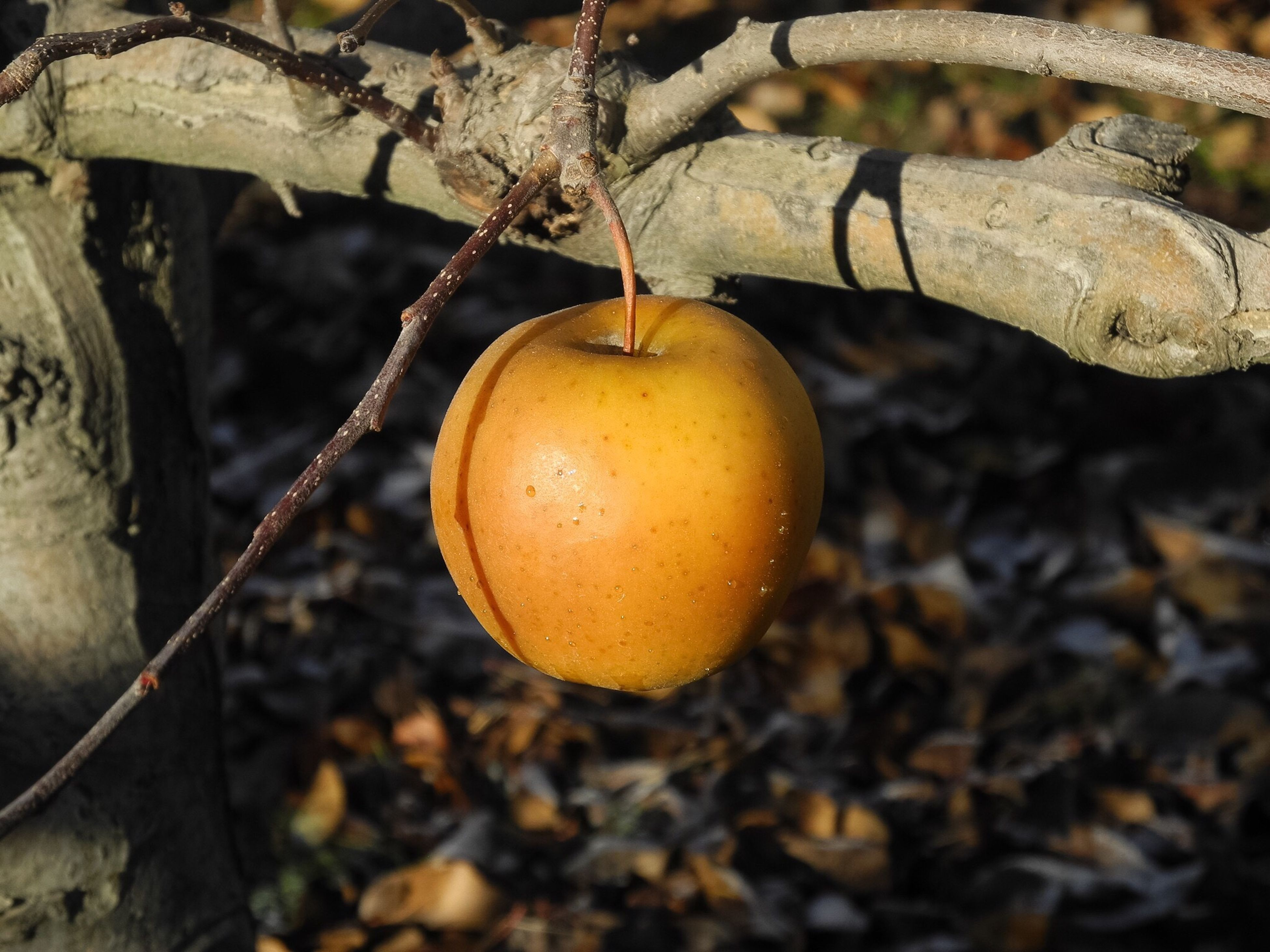 fruit, tree, food, food and drink, leaf, nature, branch, no people, outdoors, close-up, healthy eating, growth, day, beauty in nature, freshness