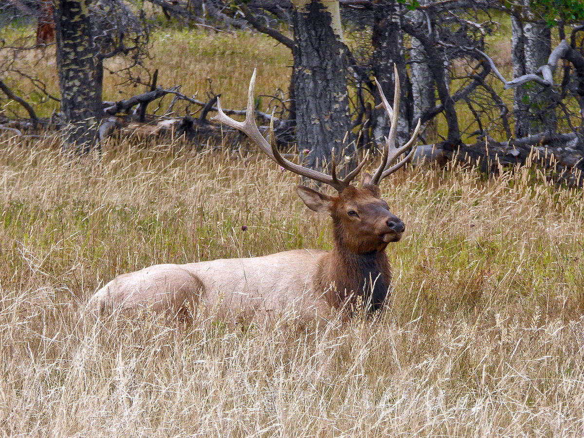 A deer in the Rocky Mountain National Park in the USA. Colorado Deer Grass Rocky Mountain National Par Trees USA Animal Themes Animal Wildlife Animals In The Wild Antler Beauty In Nature Buck Day Laying Mammal Nature No People One Animal Outdoors Stag