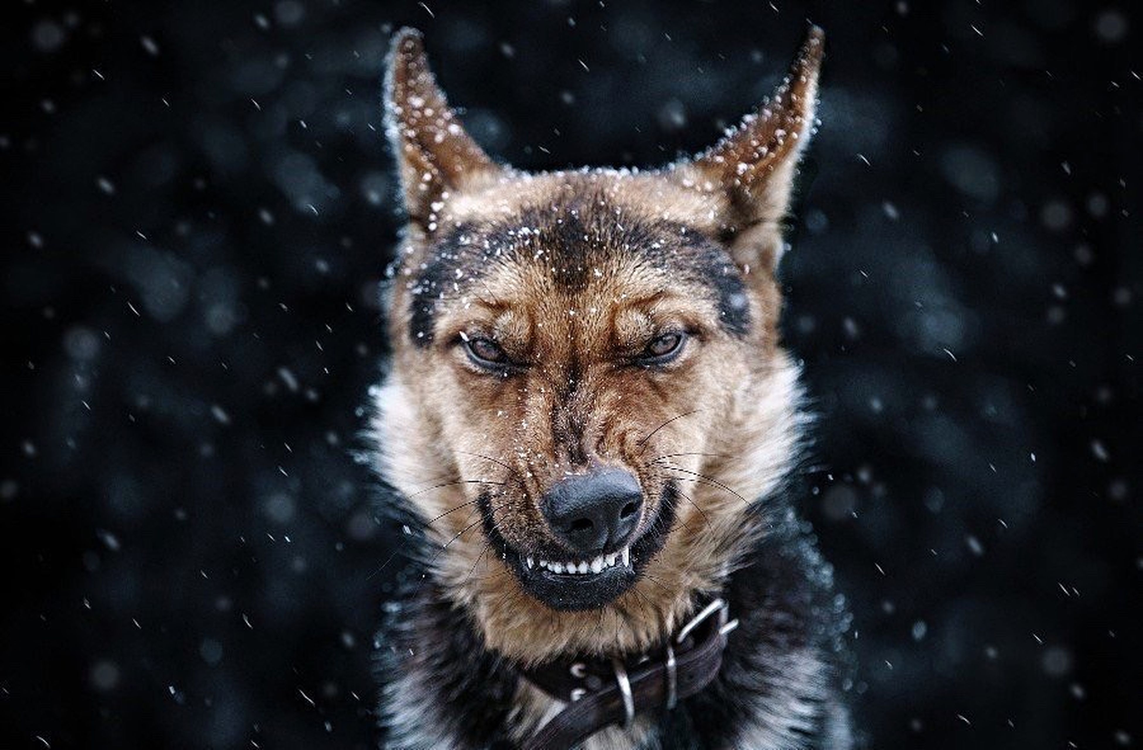 cold temperature, one animal, looking at camera, snowing, animal wildlife, portrait, animal themes, winter, snow, mammal, animal body part, close-up, outdoors, nature, no people, day