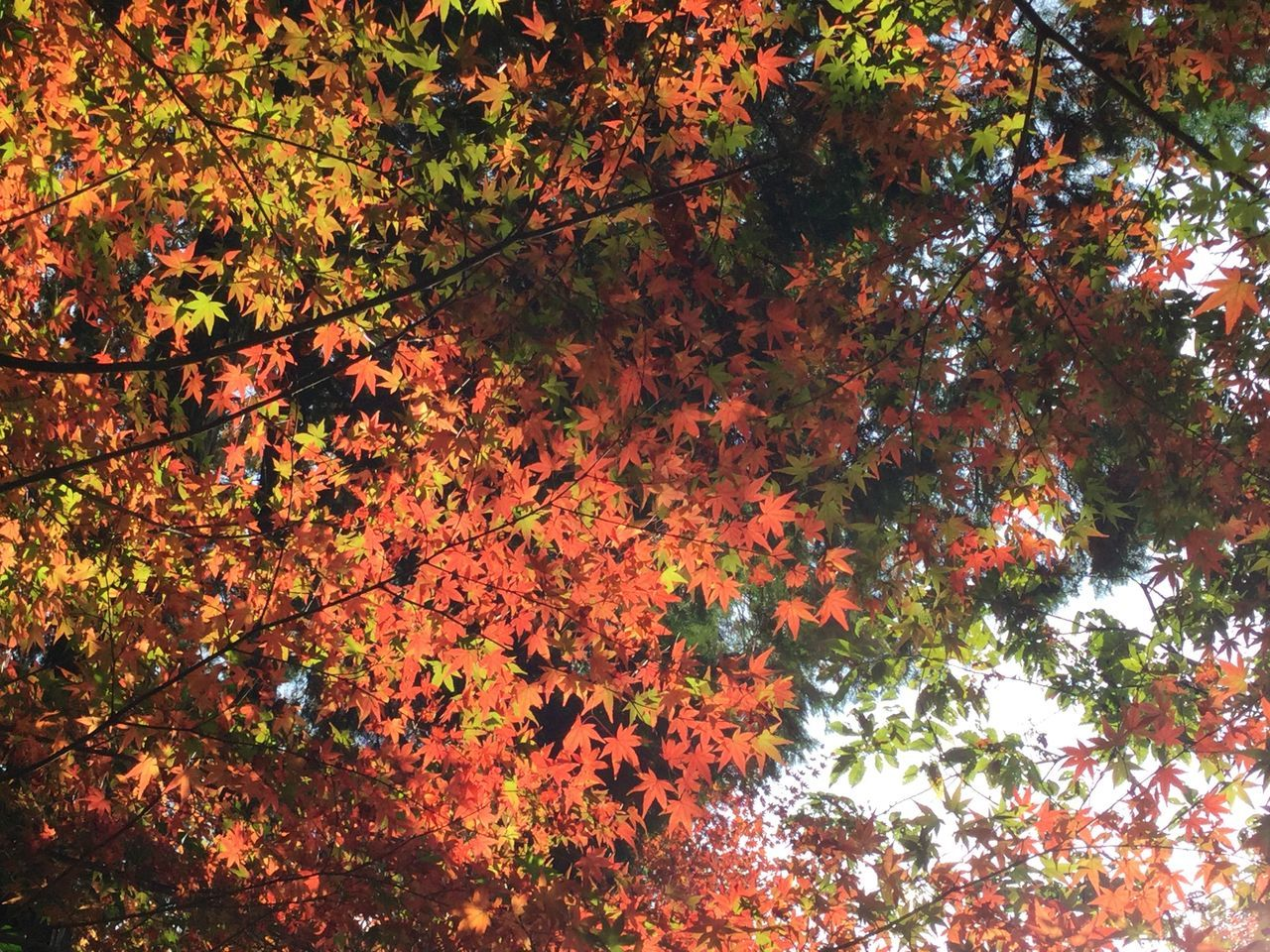 autumn, tree, growth, nature, leaf, beauty in nature, change, branch, low angle view, outdoors, no people, maple leaf, foliage, day