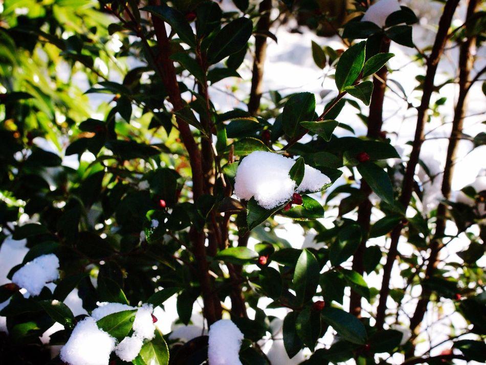 JEJU ISLAND  Camellia Hill Winter Snow ❄ Rose Tree Traveling Olympus E-P3 14-54mm II Snow And Tree Beautiful Nature