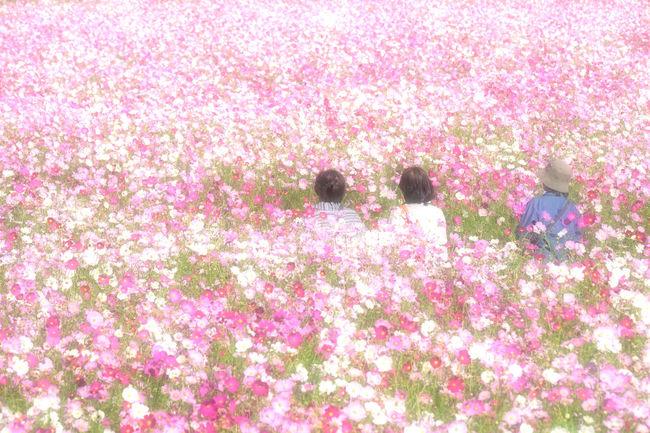 "Cosmos field Fukuoka Japan: "" Light of the cosmos "" Nature Taking Photos Japan Fukuoka FUJIFILM X-T1 Fujifilm_xseries EyeEm Gallery EyeEm Best Shots Cosmos Flower Beauty In Nature Flower"