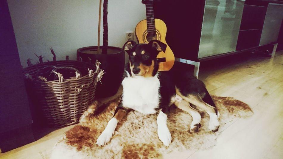 Pets One Animal Domestic Animals Home Interior Indoors  Mammal No People Animal Themes Day Animal Roef!! Austrailiansheperdmix