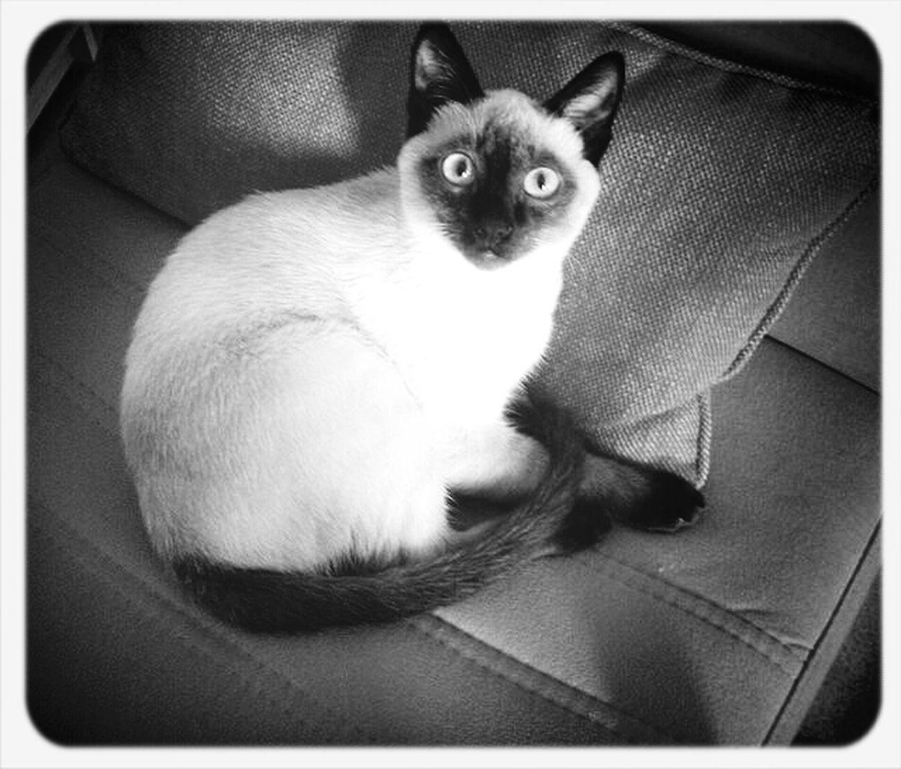 Lindo Gatito Cat Minicats