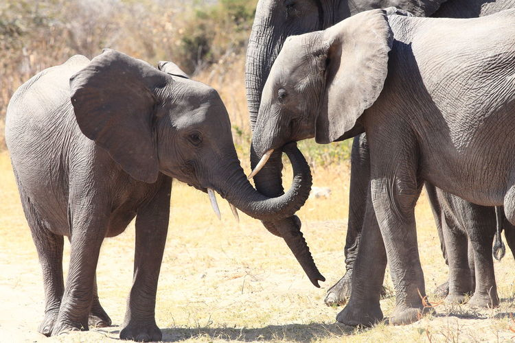 Animal Themes Animals In The Wild Animals Posing Communication Elephants Elephants In Love Family Love Non Verbal Communication Sensitivity Talking Photos Talking Pictures Tenderness The Week On Eyem Wildlife The Great Outdoors - 2016 EyeEm Awards