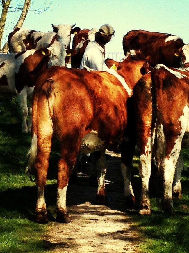 Koeien Van De Bieslandhoeve