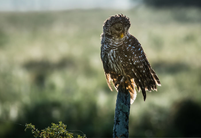 Barred Owl sits atop an old fence post. Content Animal Wildlife Animals In The Wild Backlit Barred Owl Bird Bird Of Prey Fence Post Nature Outdoors Owl Perching Wise